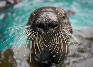 A sea otter at the Oregon Zoo