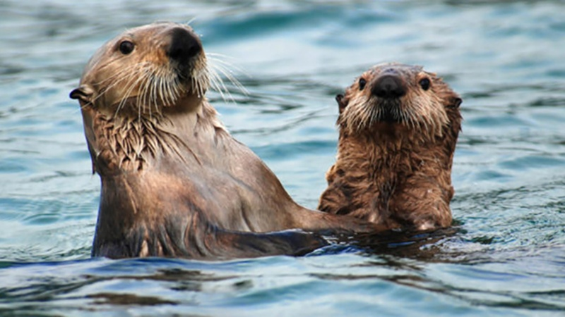 Sea otters in Alaska